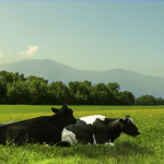 kitsap community food co-op, picture of cows in field